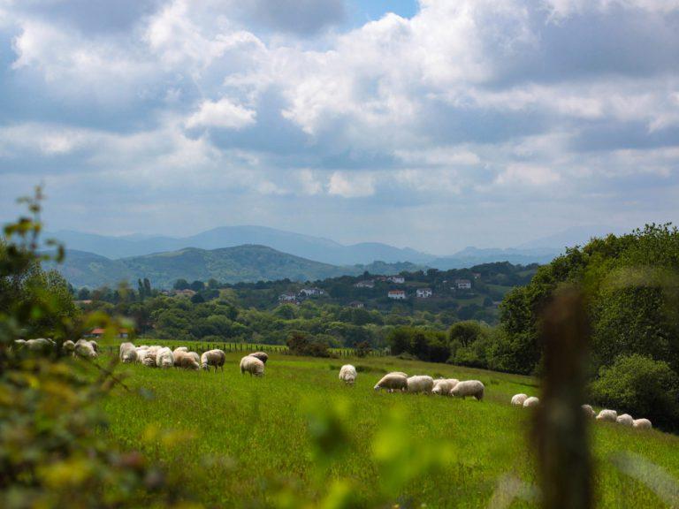 Souraïde - Troupeau de moutons
